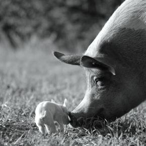 Жила-была одна свинья